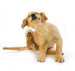 เลือกสเปรย์บำรุงขนสุนัขที่อ่อนโยนหากสุนัขมีผิวแพ้ง่าย