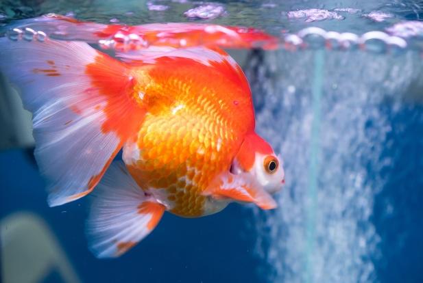เลือกอาหารปลาทองที่มีกลิ่นน่ารับประทาน