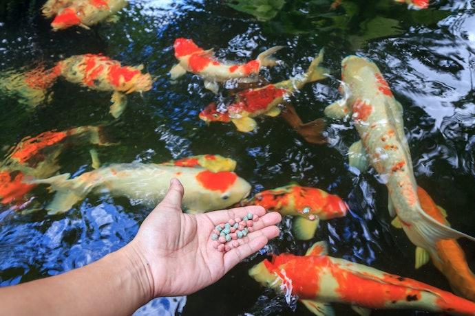 ให้อาหารปลาคาร์พ 1 - 2 ครั้งต่อวัน
