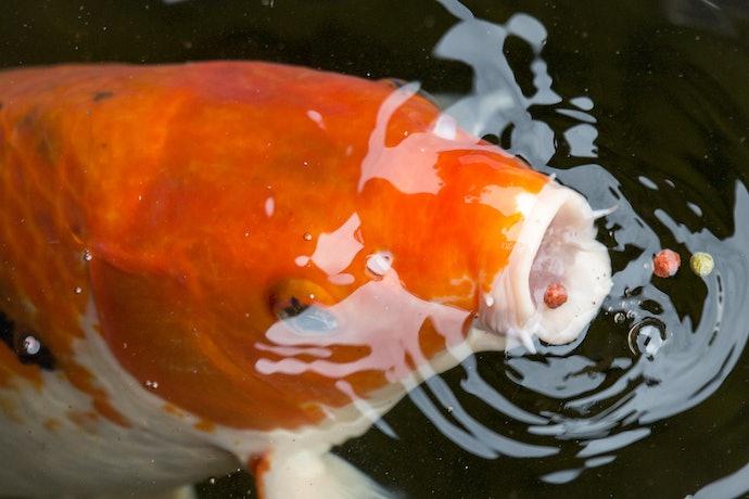 เลือกอาหารปลาคาร์พให้เหมาะกับพฤติกรรมของปลา