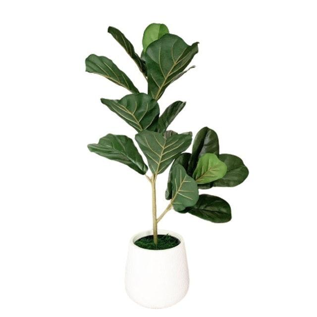 Greenleaf ต้นไทรใบสักปลอม 1