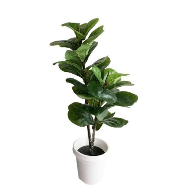 Pimarn ต้นไทรใบสักปลอม 1