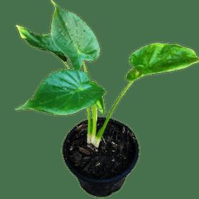 10 อันดับ ต้นไม้มงคล รวยทรัพย์ ต้นไหนดี ฉบับล่าสุดปี 2021 ช่วยปรับฮวงจุ้ย เสริมความมั่งคั่งร่ำรวย เพิ่มโชคลาภให้กับบ้าน 5