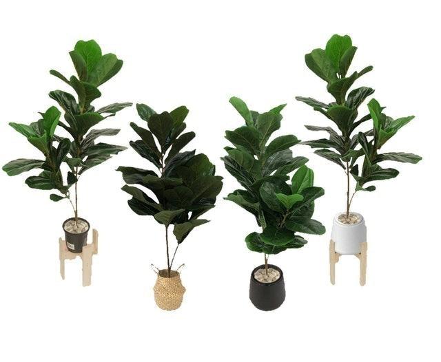 Leeartplants ต้นไทรใบสักปลอม 1