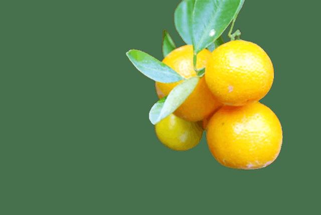 No Brand ต้นส้มจี๊ด 1