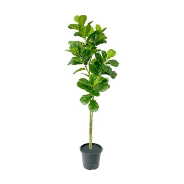 Pimarn ต้นไทรใบสักปลอม 2 ก้าน 1